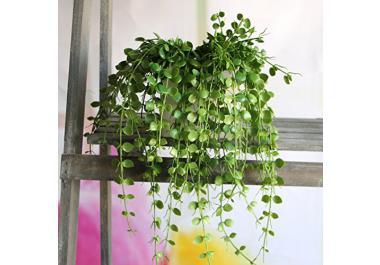 Pianta da balcone acquista piante da balcone online su for Piante per acquario online